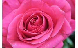 Image of a rose taken with the Canon PowerShot G7X high performance digital compact camera